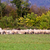 herd of sheeps in eating some grass stock photo © Giulio_Fornasar