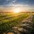 field of cut grass stock photo © givaga