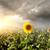 girassóis · campo · blue · sky · flor · paisagem - foto stock © givaga