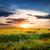 campo · verde · girasoli · tramonto · primavera · erba - foto d'archivio © givaga