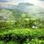 fields of tea stock photo © givaga