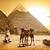 camels and pyramids stock photo © givaga