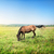horse in a meadow stock photo © givaga