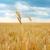 области · зрелый · ушки · пшеницы · Blue · Sky · синий - Сток-фото © glasaigh