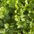 kişniş · taze · beyaz · yaprak · bahçe · stüdyo - stok fotoğraf © gloszilla