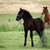 black and brown foal on field stock photo © goce
