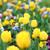 yellow tulip flower garden spring season stock photo © goce