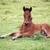cute brown foal lying on meadow stock photo © goce