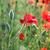 virágzó · piros · pipacs · közelkép · mag · gyönyörű - stock fotó © goce