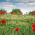 red poppies flowers field spring season stock photo © goce