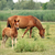 brown foal and horse on pasture stock photo © goce