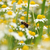 bee on chamomile flower spring season stock photo © goce