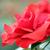 red rose flower spring season stock photo © goce