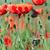 klaprozen · bloem · weide · voorjaar · seizoen · bloemen - stockfoto © goce