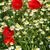 haşhaş · kır · çiçekleri · bahar · sezon · gökyüzü · çiçek - stok fotoğraf © goce