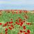 haşhaş · çiçekler · mavi · gökyüzü · çayır · manzara · çiçek - stok fotoğraf © goce