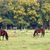 herd of horses on pasture agriculture stock photo © goce