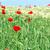 rouge · pavot · domaine · blé · nature · fond - photo stock © goce