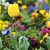 yellow tulip flower garden close up stock photo © goce