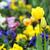 tulip flowers garden spring season stock photo © goce