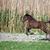 brown foal running on field stock photo © goce