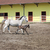 lipizzaner horse and foal running stock photo © goce
