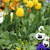 tulip and pansy flower garden spring season stock photo © goce