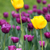 tulip flower garden spring season stock photo © goce