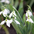 snowdrops garden close up spring season stock photo © goce