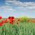 papoula · flor · brilhante · verão · dia · campo · de · trigo - foto stock © goce