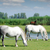white horses on pasture farm scene stock photo © goce
