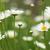 papatya · beyaz · çiçekli · bahar · sezon - stok fotoğraf © goce