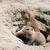 préri · kutya · fej · áll · föld · Amerika - stock fotó © goce