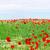 łące · maki · Błękitne · niebo · niebo · chmury - zdjęcia stock © goce