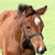 brown horse close up portrait stock photo © goce
