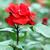 red rose flower garden spring season stock photo © goce