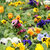 garden with tulip and pansy flowers spring season stock photo © goce