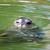 mühürlemek · su · memeli · yüzme · yaban · hayatı · sahne - stok fotoğraf © goce