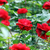 garden with red roses flower stock photo © goce