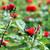 red roses flower garden nature stock photo © goce