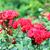 red roses garden spring season stock photo © goce