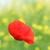 vermelho · papoula · flor · topo · qualidade · foto - foto stock © goce