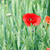 rosso · papaveri · fiori · campo · primavera · stagione - foto d'archivio © goce