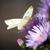 gyönyörű · pillangó · lila · virág · fotó · káprázatos · színes - stock fotó © goce