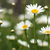 alan · papatyalar · kır · çiçekleri · çiçek · doğa · manzara - stok fotoğraf © goce
