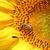 bee · zonnebloem · zomer · seizoen · natuur · hoofd - stockfoto © goce
