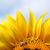 bee on sunflower summer season stock photo © goce