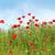 branco · camomila · primavera · temporada · jardim - foto stock © goce