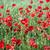 kırmızı · haşhaş · çiçek · bahar · sezon · yaz - stok fotoğraf © goce