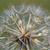 közelkép · pitypang · klasszikus · színek · természet · tájkép - stock fotó © goce